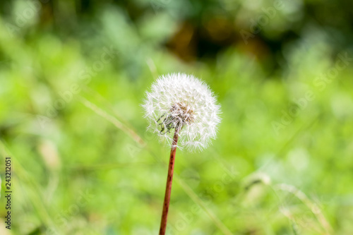 Dandelion puff filled with little seeds - 243212051
