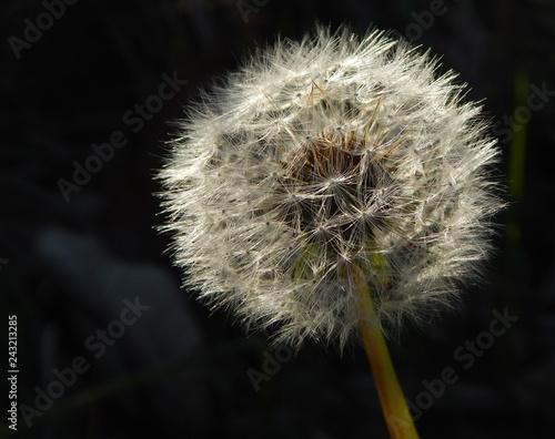 dandelion on black background. Taraxacum officinale  - 243213285