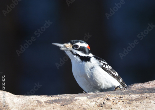 Foto Murales Downy Woodpecker perched