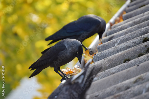 Foto Murales Jackdaw sitting on the roof in the autumn afternoon on a yellow background