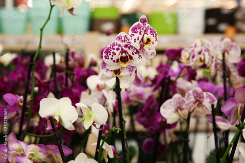 Beautiful orchid flowers at floral shop, closeup