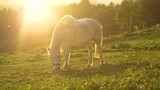 SLOW MOTION, LENS FLARE: Warm summer sunset illuminates the pregnant young white mare grazing on a calm ranch in Slovenia. Beautiful shot of an adorable horse pasturing in the idyllic countryside. - 243222422