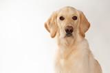 Yellow lab dog