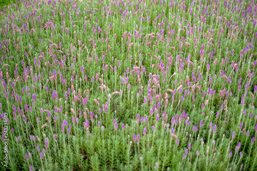 Field of fresh lavender plants - 243234683