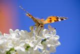 бабочка яркая летает на природе