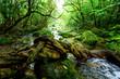 西表島のジャングル - 243241648