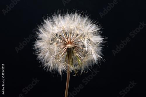 Dandelion flower on dark blue background - 243242229