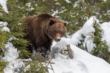 Big brown bear in winter forest - 243247852
