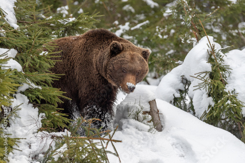 obraz lub plakat Big brown bear in winter forest