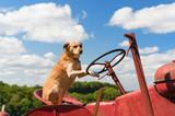 Dog on Vintage red tractor in landscape - 243259044