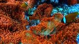 Sea anemone and anemone-fish, Clownfish in Yonaguni island, Okinawa
