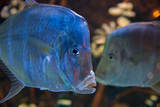 Two fishes in an aquarium, dark background - 243278670