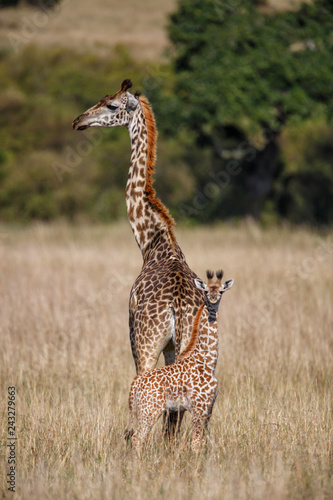 Young baby giraffe with mother looking for danger  in the Masai Mara National Reserve in Kenya
