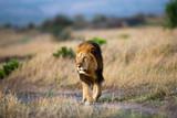 Black Rock Lion walking in Masai Mara, Kenya