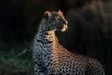 Portrait of Leopard Fig early in the morning in Masai Mara, Kenya