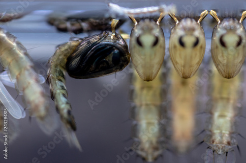 Mosquito Larva in the order Diptera, Anopheles sp. (Mosquito Larva) in the water for education. - 243294815