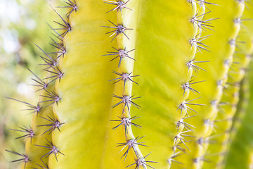 The small spiky spikes of the yellow cactus tree. © adisorn123