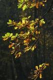 gelb verfärbte Eichenblätter an Ästen - 243308844