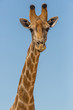 front view portrait male giraffe neck and head, blue sky
