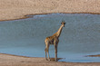 one male giraffe standing on water hole in Etosha park