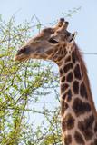 side view portrait giraffe eating green leaves - 243310084