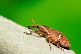 weevil on plant