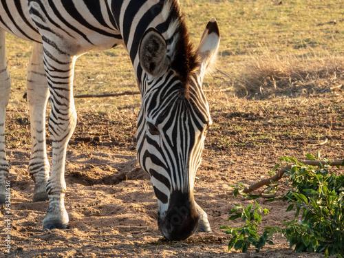 Plains Zebra eating - 243318636