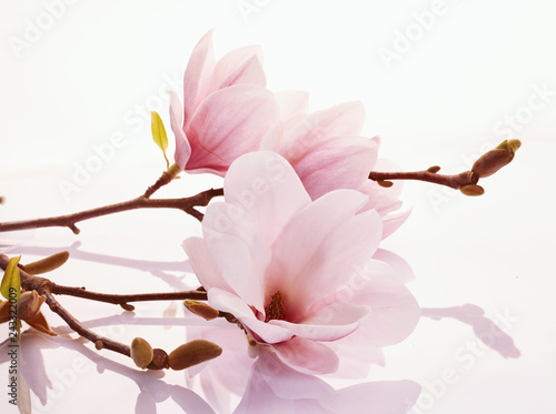 Foto Murales Pink magnolia blossoms on a reflective surface