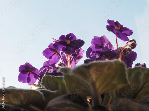 purple saintpaulia flower