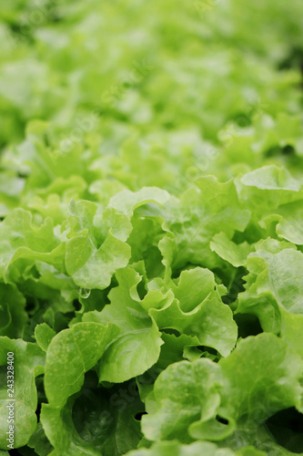 Organic hydroponic vegetable in farm plant market, green oak close up