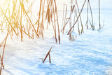Dry reed in ice on lake surface in the winter - 243332462