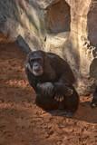 Chimpancé - 243333221