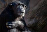 Chimpancé - 243333232