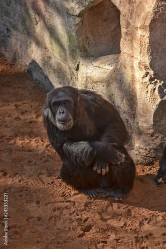 Poster Chimpancé