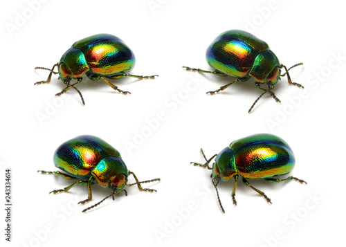 Foto Murales Green beetle isolated on white