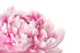 Pink peony flower - 243337633