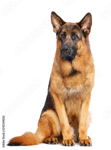 German Shepherd Dog  Isolated  on white Background in studio - 243344026