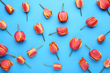 Bouquet of tulips on blue background - 243345290