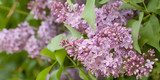 lush blossoms lilac in spring park or garden - 243345433