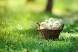 Little chicks in basket on green grass - 243346242