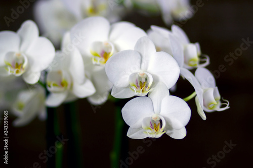 Beautiful white orchid  - phalaenopsis - 243359665