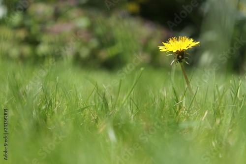 a yellow dandelion flower macro in the green grass - 243362891