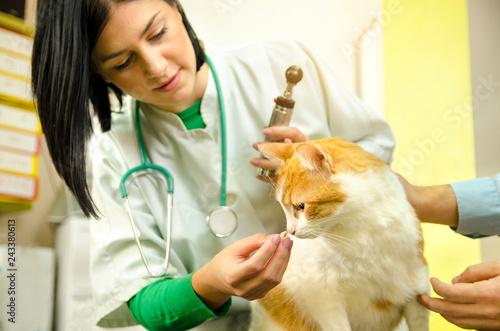 Female vet giving  treat / medicine to cat  patient