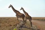 Giraffe looking over the savanna - 243387410