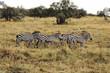 A flock of Zebras