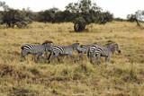 Fototapeta Fototapeta z zebrą - A flock of Zebras © Gustav