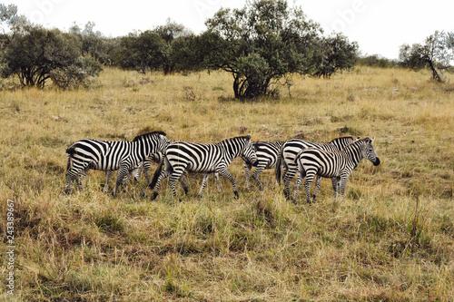A flock of Zebras - 243389667