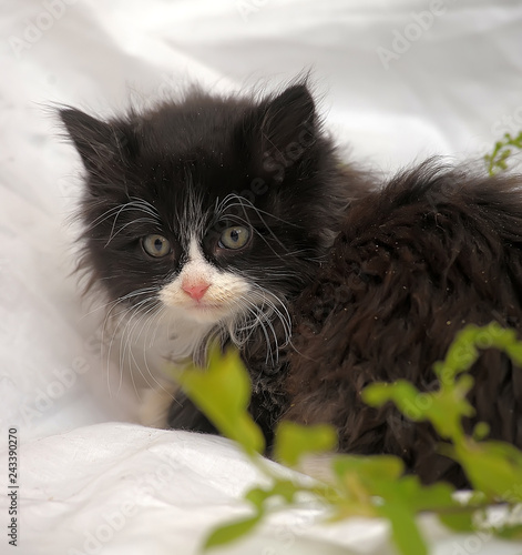 Black with white fluffy kitten on white background and twig with green leaves