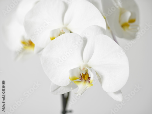 white orchid flower - 243391819