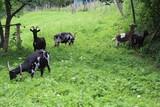Ziegen grasen auf einer Wiese - 243396257